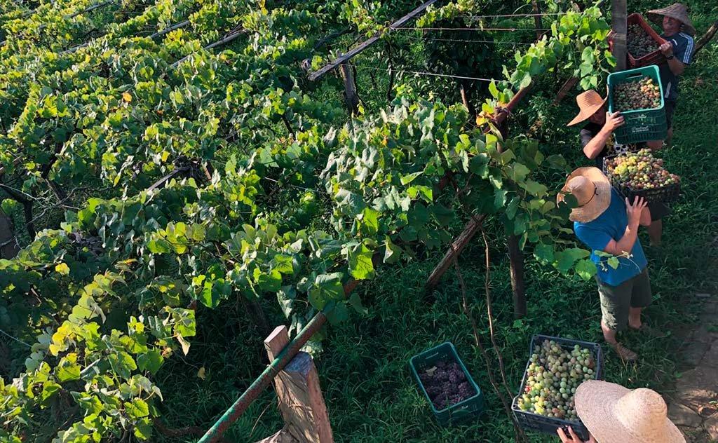 Região Sul de Santa Catarina reconhecida internacionalmente na produção de Uva Goethe